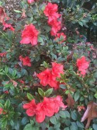 Encore Azalea—red