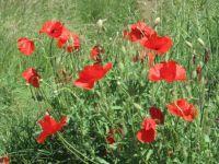 Poppy buquet