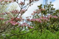 Close-up Pink Dogwood