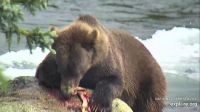 Bear with Salmon Dinner