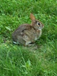 Bunny in my backyard