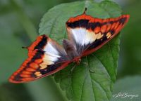 Butterfly, Westford, MA _2953