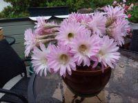 Eleanor's amazing cactus blooms