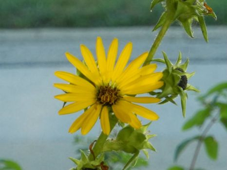 I thought that the compass plant was done flowering