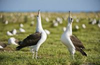 Laysan Albatross courting pair, Midway Atoll