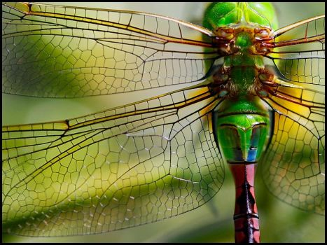The intricate structure of Dragonfly wings...