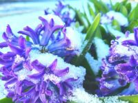 Spring Hope large