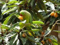 a Roman parakeet