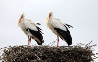 Little White Storks on the way soon?