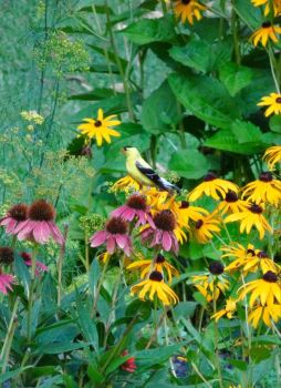 Goldfinch in the echinacea