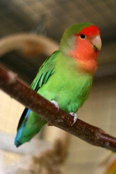 pretty lovebird