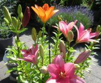 Lilies in bloom again...