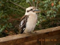 Mr Kookaburra