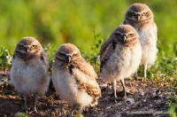 Burrowing Owls...