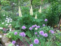 Lupins and chives