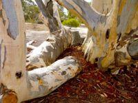 Aging Eucalyptus