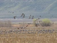 sandhill cranes in the field