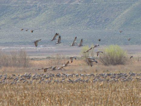 sandhill cranes in the field