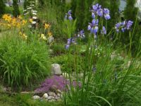 Japanese iris, daylilies and thyme