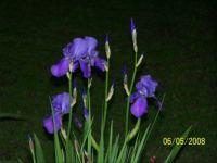 lighter purple iris