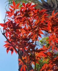 Japanese Maple in Full Color