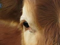 Cattle - close up