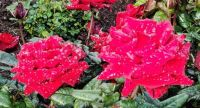 Red Roses and Drops