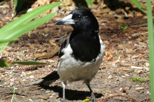 Young Butcherbird...