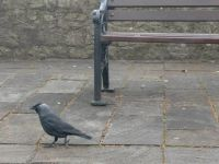 a jackdaw in Wesport