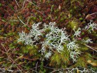 Moss I