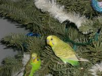 Birds in a Christmas tree