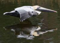 Mississippi Gulf Coast Pelican
