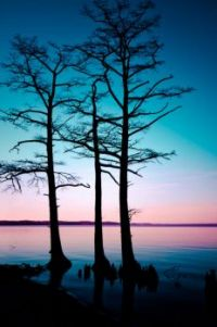 Cypress Trees at Sunset (Virginia)