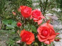 In my garden (Small roses)