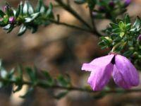182_4239  Tetratheca thymifolia, Black-eyed Susan, Tremandraceae