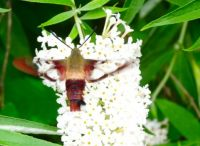 Hawk Moth on Buddleia