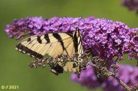 Battered Yellowtail butterfly on butterfly bush