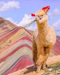 Llama on painted mountains