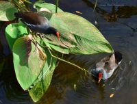 Common Gallinules, South Florida 2