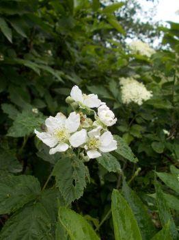 kvetoucí ostružina