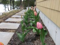 A row of tulips