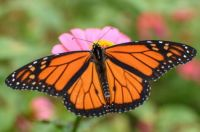 Monarch on Pink Zinnia