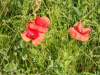 Poppies growing wild along the way to Bratislava Slovakia
