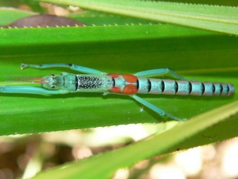 Peppermint Stick Insect - Australia & New Guinea