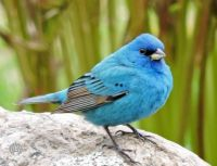 More Birds: Indigo Bunting