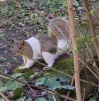 Piebald Grey Squirrel