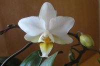 My mini orchid, blooming again. Oct. 2021