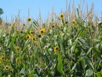 sunflowers in the corn