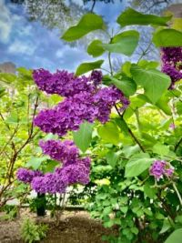 Lilacs, Central Park NYC
