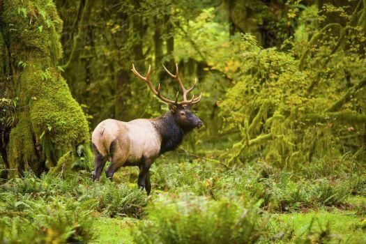 Bull Elk in Washington State